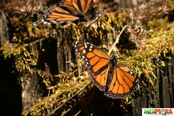 Mariposa Monarca :Mexplora