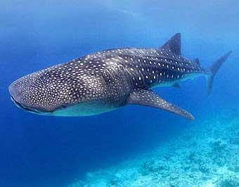 tiburon ballena méxico caribe mexicano