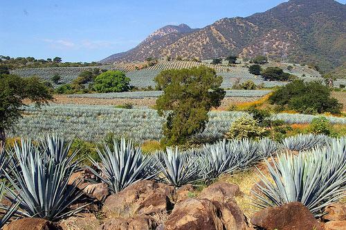tequila jalisco mariachis pueblo magico agaves