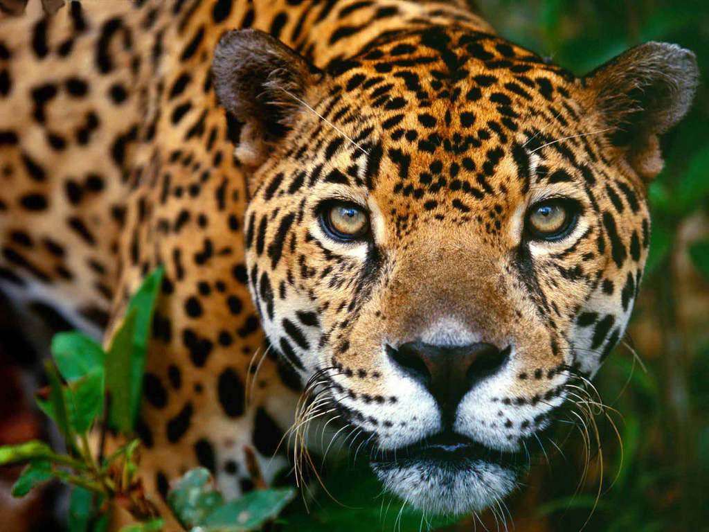 jaguar-maya