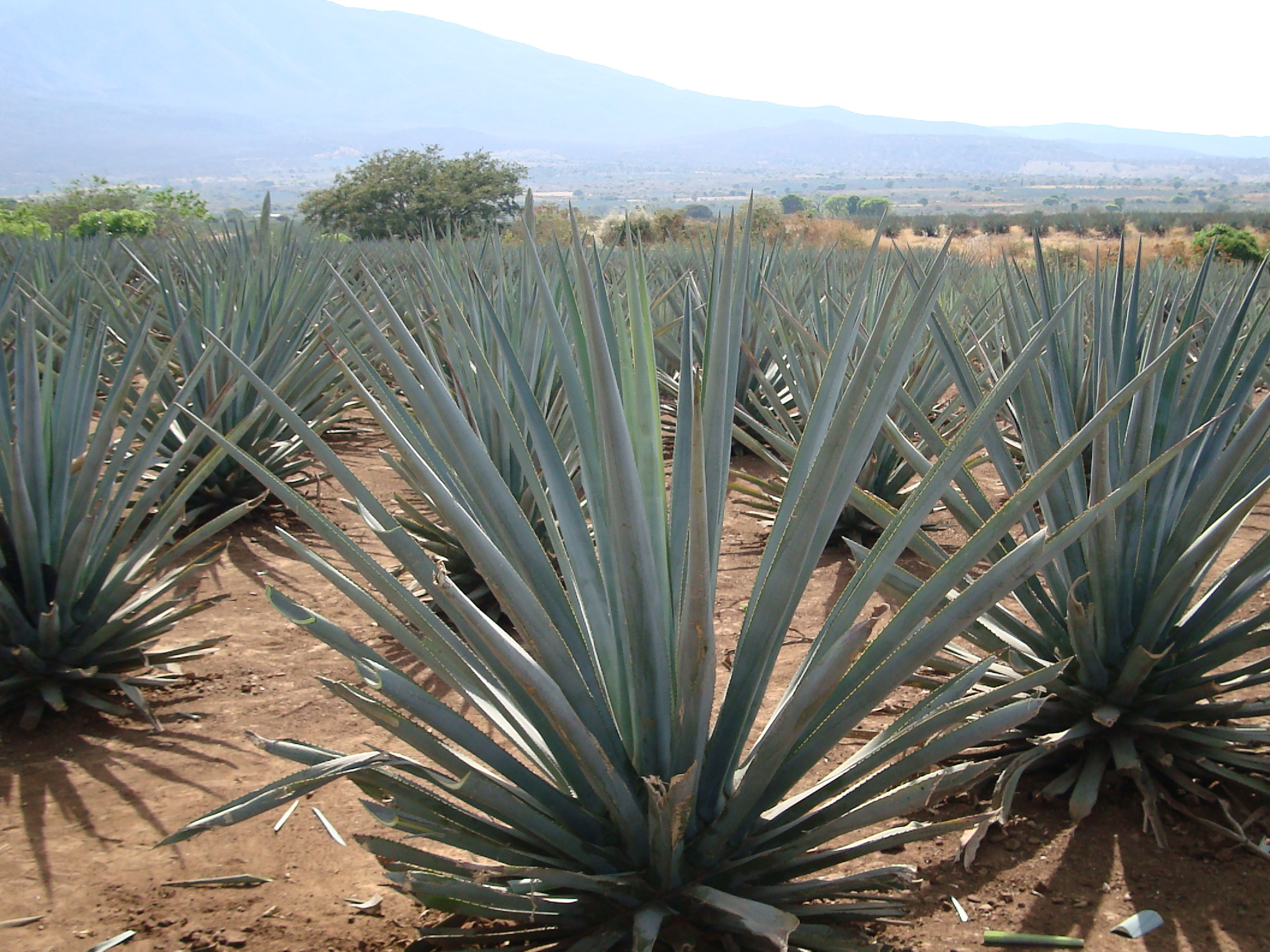 Agave_tequilana_(Jay8085)