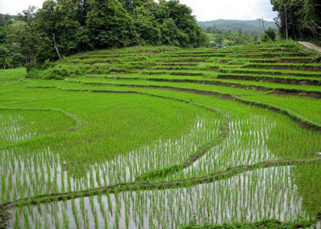 campo_arroz