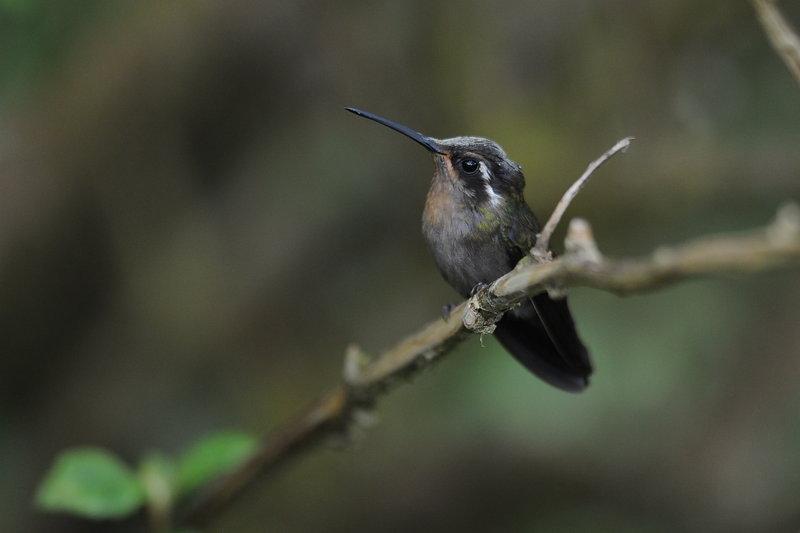 Colibri à gorge améthyste - oiseaux.net