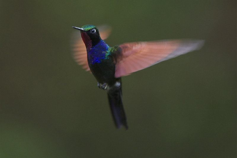Colibri à gorge grenat - oiseaux.net