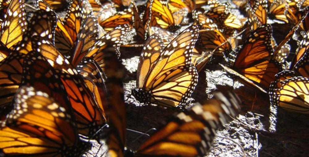 Santuario-Mariposa-Monarca
