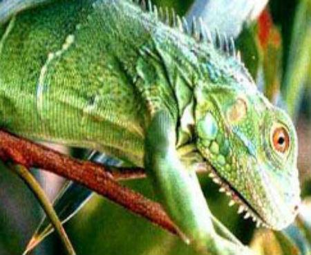 iguanaverde