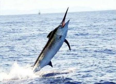 pez-vela-2